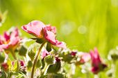 foto of strawberry plant  - Flowering plant strawberries closeup on grass background - JPG