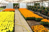 pic of convection  - flowers which are growing in a greenhouse in France - JPG