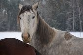 image of bohemia  - horses on a snowy pasture South Bohemia Czech Republic - JPG