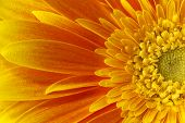foto of stamen  - Big orange gerbera flower closeup shot with stamens and petals - JPG