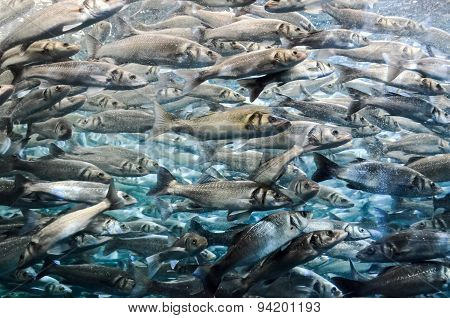 School of Silver Gray Fish