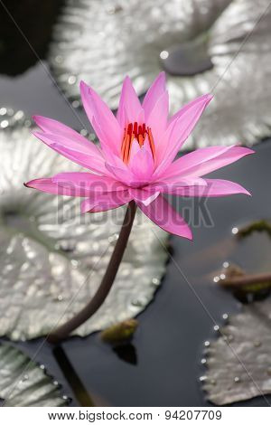 Beautiful pink water lily close-up
