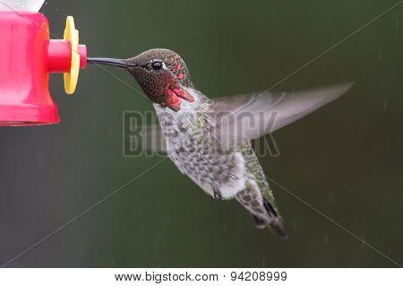 Male Annas Hummingbird (calypte Anna)