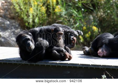 Two Funny Chimpanzee