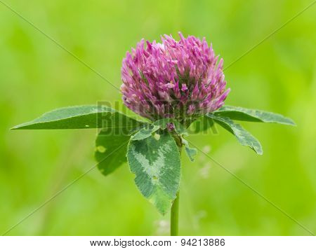 Flower Of Red Clover On Blurred Green Macro, Selective Focus, Shallow Dof