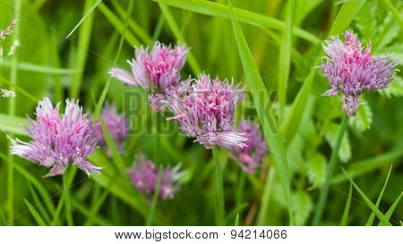 Purple Chives Blooming In The Herb Bed Macro, Selective Focus, Shallow Dof