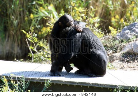 Baby And Mother Chimpanzee