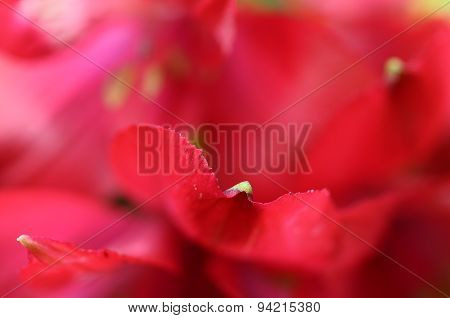 Red Flower Alstroemeria