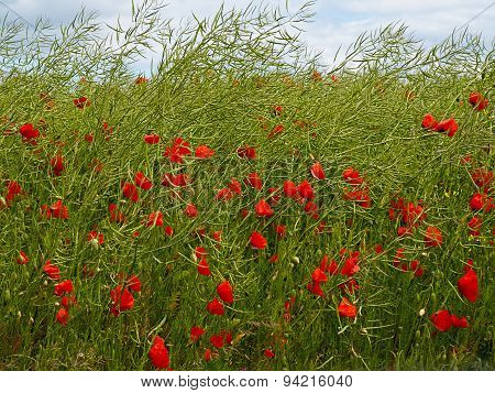 Field Of Red Corn Poppy Flowers In The Summer