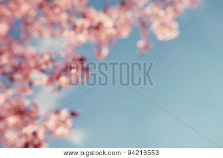 Cherry Tree (prunus Sargentii) Blossoms On Blurred Background