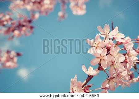 Closeup Of Cherry Tree (prunus Sargentii) Blossoms In Spring