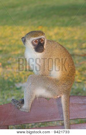Vervet Monkey Portrait On Bench