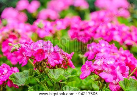 Beautiful Blooming Red Geranium Flower With Green Leaves In   Nature Background, Coseup