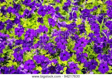 Beautiful Blooming Purple Petunia Flowers Background, Closeup