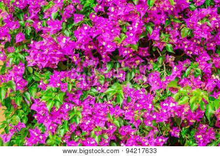 Beautiful Blooming Pink Bougainvillea Flowers Background, Closeup