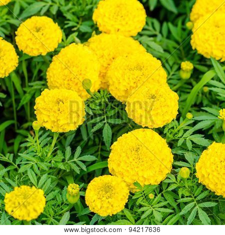 Beautiful Blooming Yellow Marigolds Tagetes Erecta Flowers Background, Closeup
