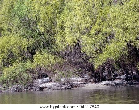 Borcea river willows blooming