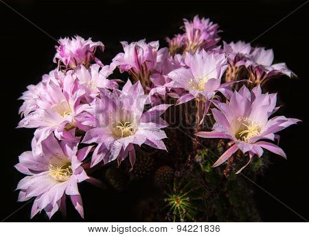 Beautiful Pink Cactus Flowers