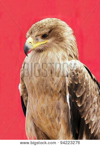 Harris Hawk, drawing portrait (Central America)