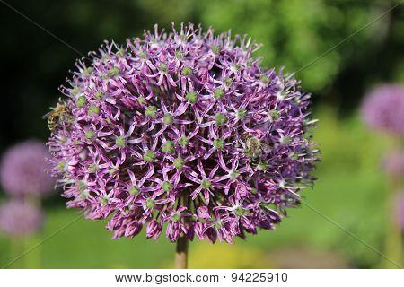 Giant Flowering Onion