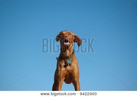 Hungarian Vizsla Dog Portrait With Blue Sky