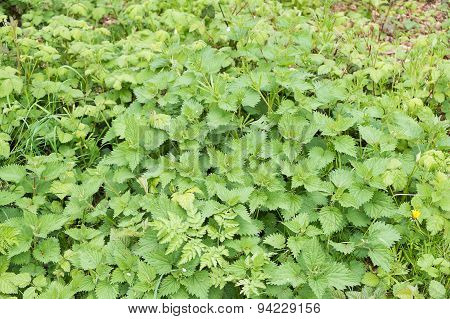 large group of green nettles growing wild