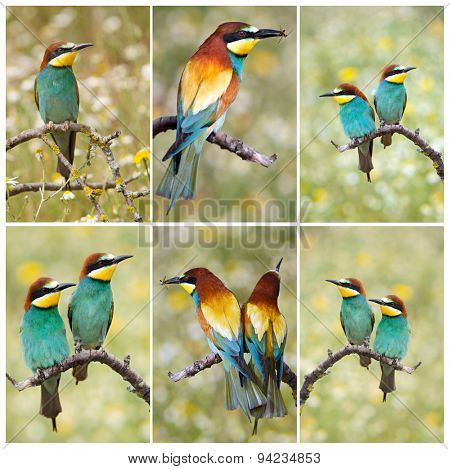 The beautiful bee-eaters wildlife in their habitat.