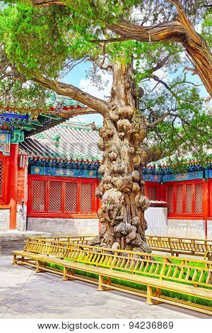 Old Tree Near Temple Of Confucius At Beijing - The Second Largest Confucian Temple In China.