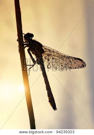 Drops of morning dew on a dragonfly at sunrise