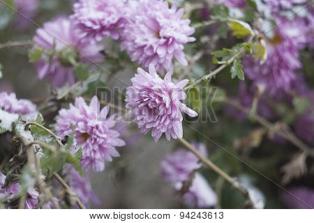 Lilac chrysanthemums in the garden under the snow, selective focus