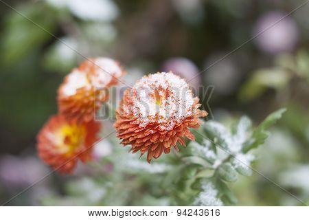 Orange chrysanthemum in the garden under the snow