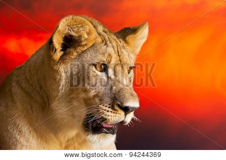 Young Lion In Early Morning Light