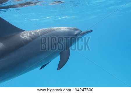 Single Dolphin In Tropical Sea, Underwater