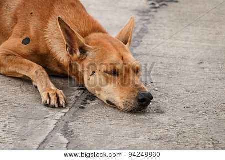 Brown Thai Homeless Dog