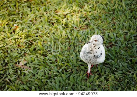 White Pigeon Is Walking On The Grass