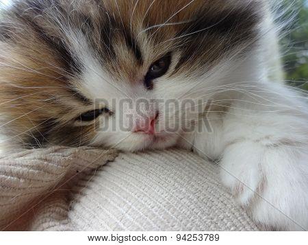 persian cat kitten close up