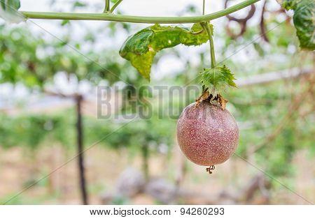Passion Fruit (passiflora Edulis), Selective Focus.