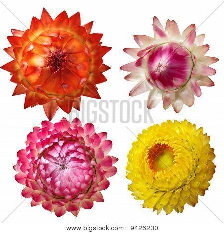 Immortelle Flower Set