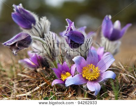 Beautiful Blue Flower Of Pasqueflower On The Meadow