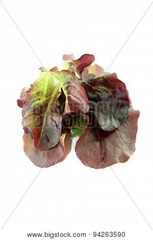 Delicious Crunchy Red Lettuce