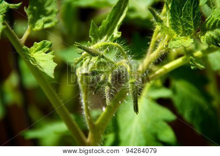 Young Tomato Plant Flowers