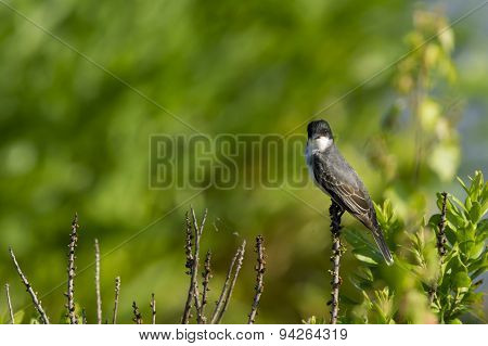 Eastern Kingbird Stare