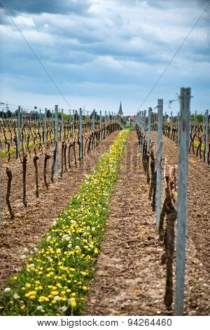 Rows of trellised vines in an agricultural vineyard in the Dirmstein winelands in Germany at the start of spring with fresh green leaves just beginning to sprout