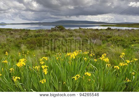 Yellow flag Iris (Iris pseudacorus)