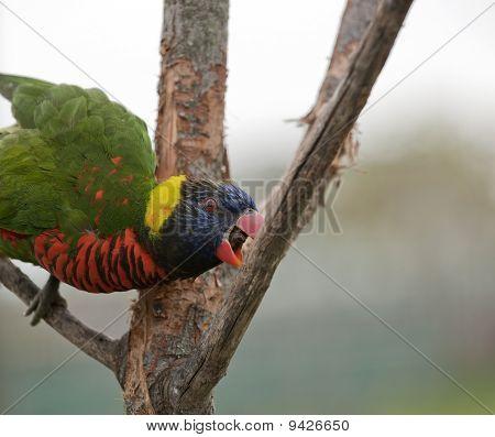 Australian rainbow lorikeet.