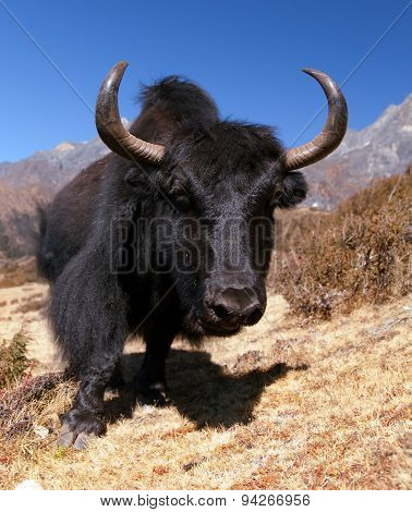 Black Yaks On The Way To Everest Base Camp - Nepal