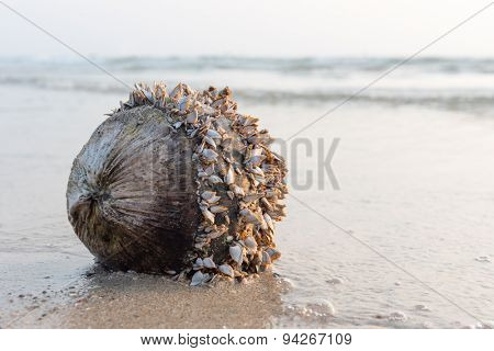coconut with shells against sea at the sea sand beach
