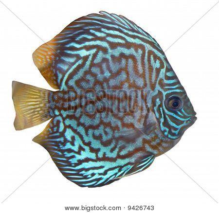 Blau Türkis Diskus Fisch