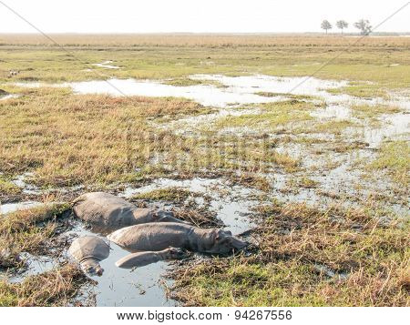 Hippos In Shallow Pool