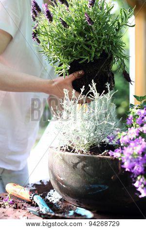 Transplanting flowers